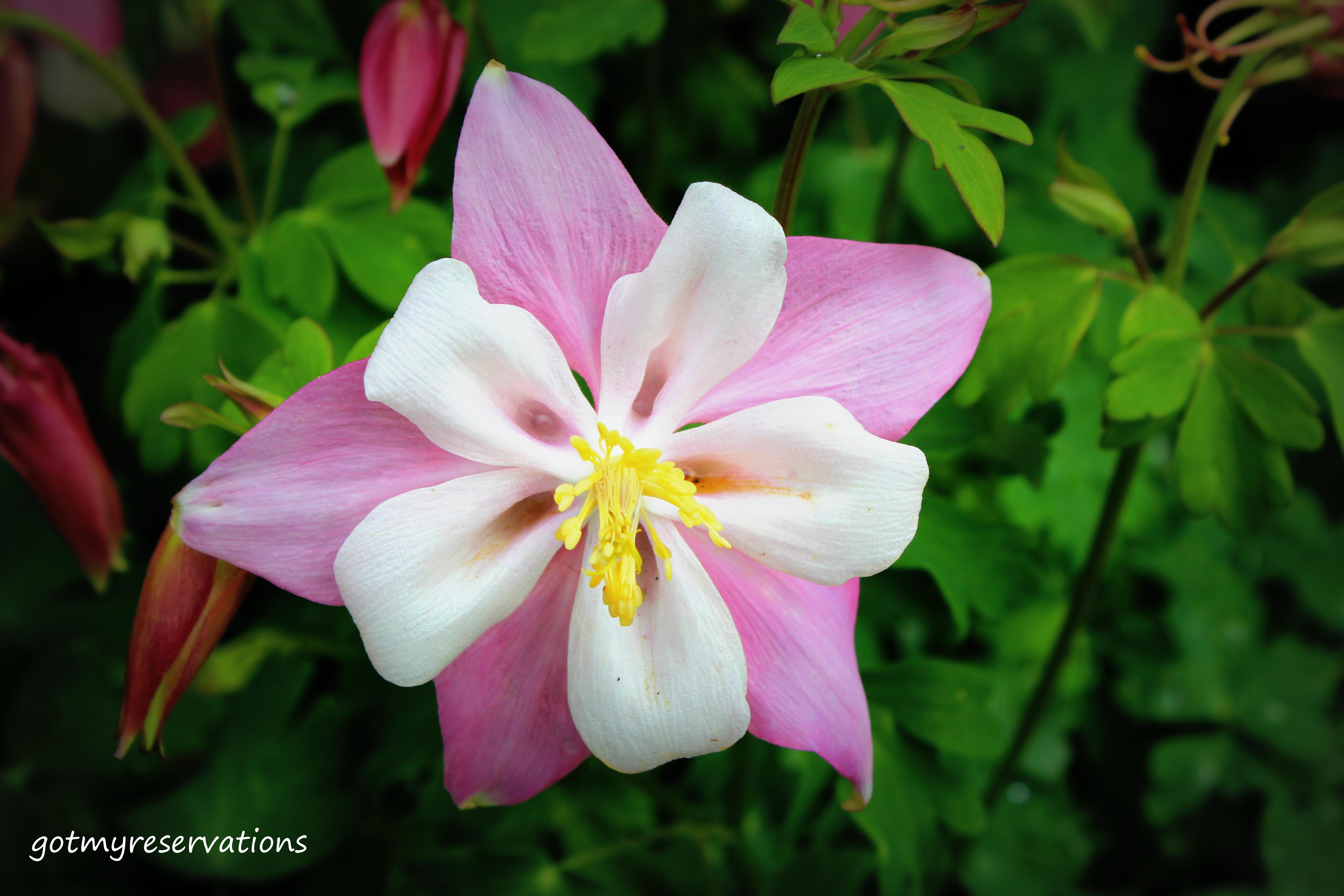 flower stories columbine  got my reservations, Beautiful flower